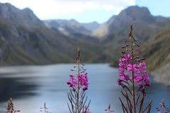Fleurs pourpres de Pyrénées Photo libre de droits