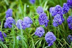 Fleurs pourpres de ressort Images stock