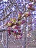 Fleurs pourpres de ressort sur un fond de forêt Photos libres de droits
