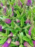 Fleurs pourpres de suppléments de speciosa de hebe photographie stock libre de droits