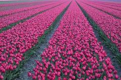 Fleurs pourpres de tulipe dans une rangée Image stock