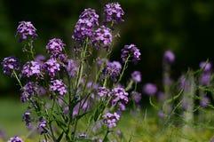 Fleurs pourpres de Wildflower Photo stock