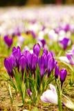 Fleurs pourpres devant beaucoup d'autres fleurs de toutes les couleurs Photographie stock libre de droits