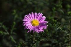 Fleurs pourpres du dumosus d'aster, fleur des asters américains image stock