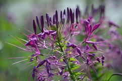 Fleurs pourpres en été Photo stock