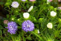 Fleurs pourpres et blanches Photographie stock libre de droits