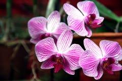 Fleurs pourpres et blanches d'orchidée photo libre de droits