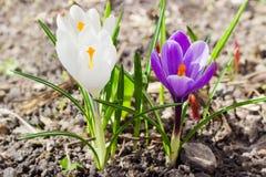 Fleurs pourpres et blanches du plan rapproché de vernus de crocus Photo stock