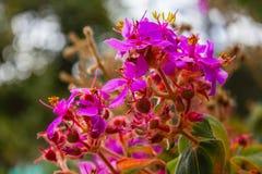 Fleurs pourpres et roses du Mirador photo stock