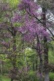 Fleurs pourpres fleurissant dans les arbres Photo stock