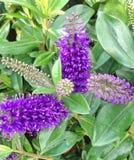 Fleurs pourpres foncées de suppléments de Hebe en automne image libre de droits