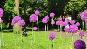 Fleurs pourpres géantes de sensation dans le terrain communal de Boston banque de vidéos
