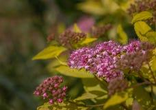 Fleurs pourpres gentilles sur un fond de feuillage jaune Fin vers le haut Macro photos libres de droits