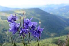 Fleurs pourpres inconnues dans un paysage de montagne photos libres de droits