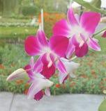 Fleurs pourpres lumineuses d'orchidée Photos stock