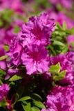 Fleurs pourpres lumineuses dans un jardin de ressort photo stock