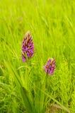 Fleurs pourpres lumineuses de gisement de ressort Images libres de droits