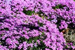 Fleurs pourpres lumineuses en abondance photographie stock