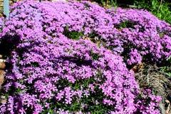 Fleurs pourpres lumineuses en abondance photographie stock libre de droits