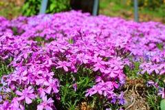 Fleurs pourpres lumineuses en abondance photos stock