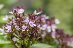 Fleurs pourpres naturelles Photos libres de droits