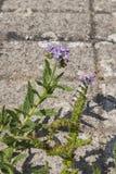 Fleurs pourpres pâles d'amplexicaule de Heliotropium photographie stock
