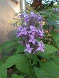 Fleurs pourpres près du mur image libre de droits