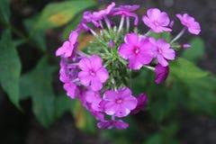 Fleurs pourpres renversantes photographie stock libre de droits
