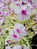Fleurs pourpres roses de phlox dans le jardin C'est des fleurs de phlox C'est thème des saisons Images libres de droits