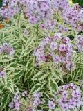 Fleurs pourpres roses de phlox dans le jardin C'est des fleurs de phlox C'est thème des saisons Photos stock