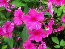 Fleurs pourpres roses de phlox dans le jardin C'est des fleurs de phlox C'est thème des saisons Photo libre de droits