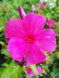 Fleurs pourpres roses de phlox dans le jardin C'est des fleurs de phlox C'est thème des saisons Photographie stock libre de droits