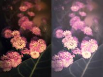 Fleurs pourpres roses, obscurité modifiée la tonalité et doux de coupeur modifié la tonalité Images stock