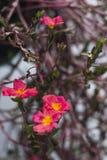 Fleurs pourpres roses rouges avec les feuilles sèches photos stock