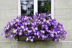 Fleurs pourpres saisissantes suspendues à une fenêtre Photographie stock libre de droits