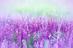 Fleurs pourpres sauvages Image stock