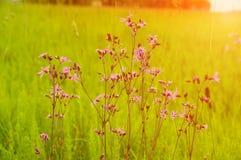 Fleurs pourpres sauvages ressort, été Photos stock