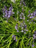 Fleurs pourpres sous la pluie photo libre de droits