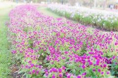 Fleurs pourpres sur des plantations Images stock