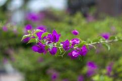 Fleurs pourpres sur la branche Image stock