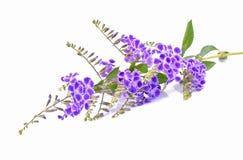 Fleurs pourpres sur le fond blanc Images stock