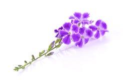 Fleurs pourpres sur le fond blanc Image stock