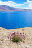 Fleurs pourpres sur le rivage du lac de montagne Photo stock