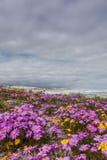 Fleurs pourpres sur les dunes Images stock