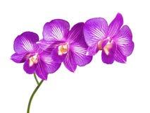 Fleurs pourpres sur un fond blanc Image stock