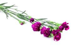 Fleurs pourpres très belles d'oeillet photo stock