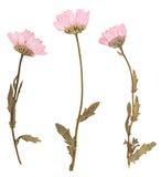 Fleurs pressées, d'isolement Photographie stock libre de droits