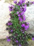 Fleurs protégées de montagne Photographie stock libre de droits