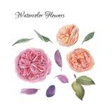 Fleurs réglées des roses tirées par la main d'aquarelle Photos stock