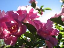Fleurs rétro-éclairées Images libres de droits